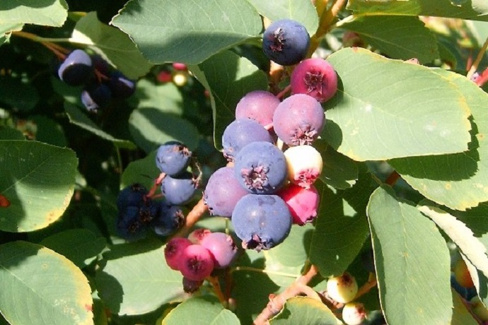 ripening serviceberries