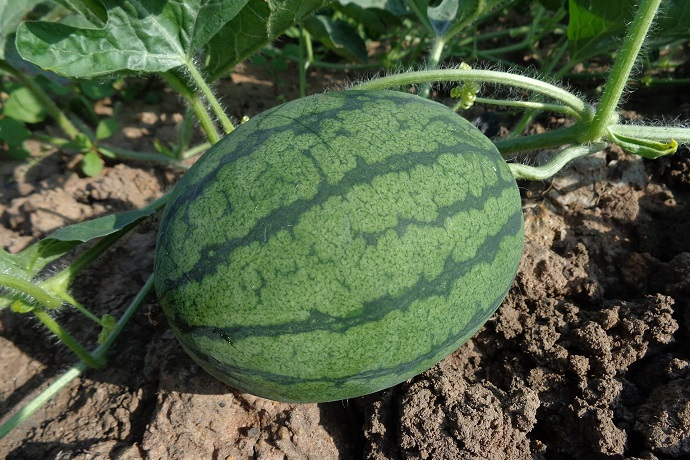 Watermelon on plant
