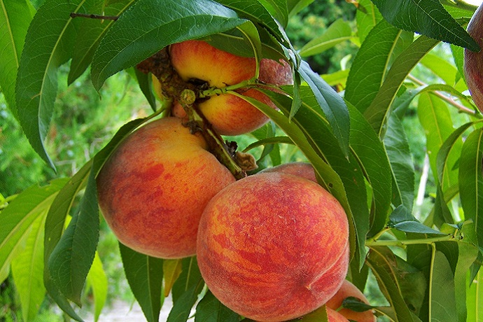 close up of ripe peaches on tree
