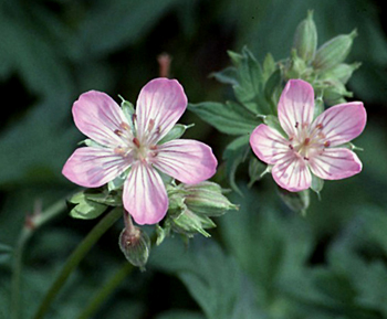 Richardsons geranium