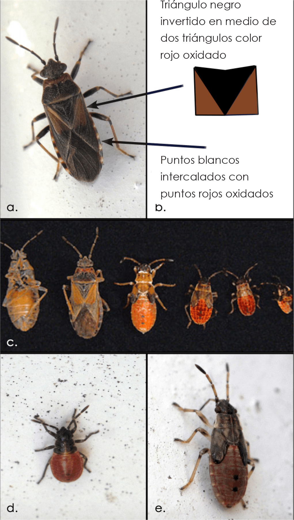 Fig. 2a - 2e. Elm seed bug adults with depiction of key identifying characteristics (2a - 2b). Adult and immature elm seed bugs (2c). Early- and latestage elm seed bug immatures (2d - 2e).