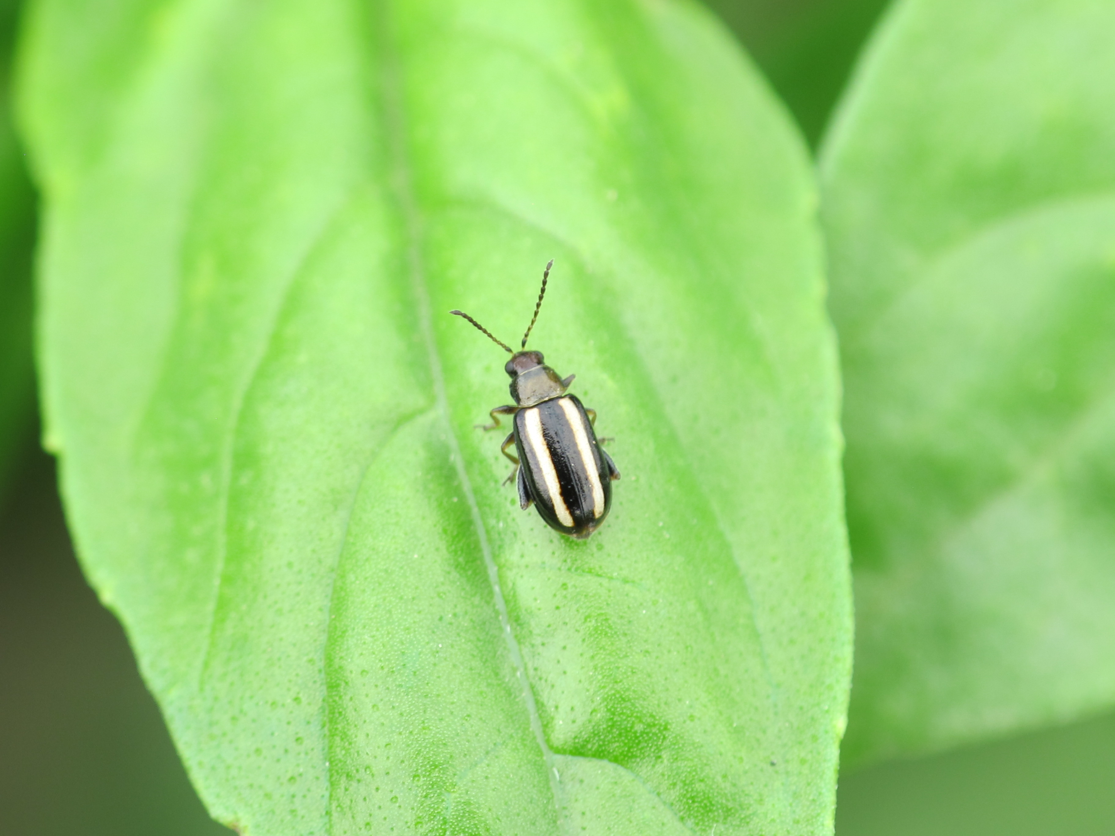 Some adult flea beetles are striped.
