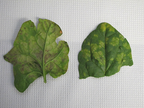 Downy mildew of spinach