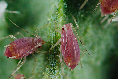 Potato Aphid (influentialpoints.com)