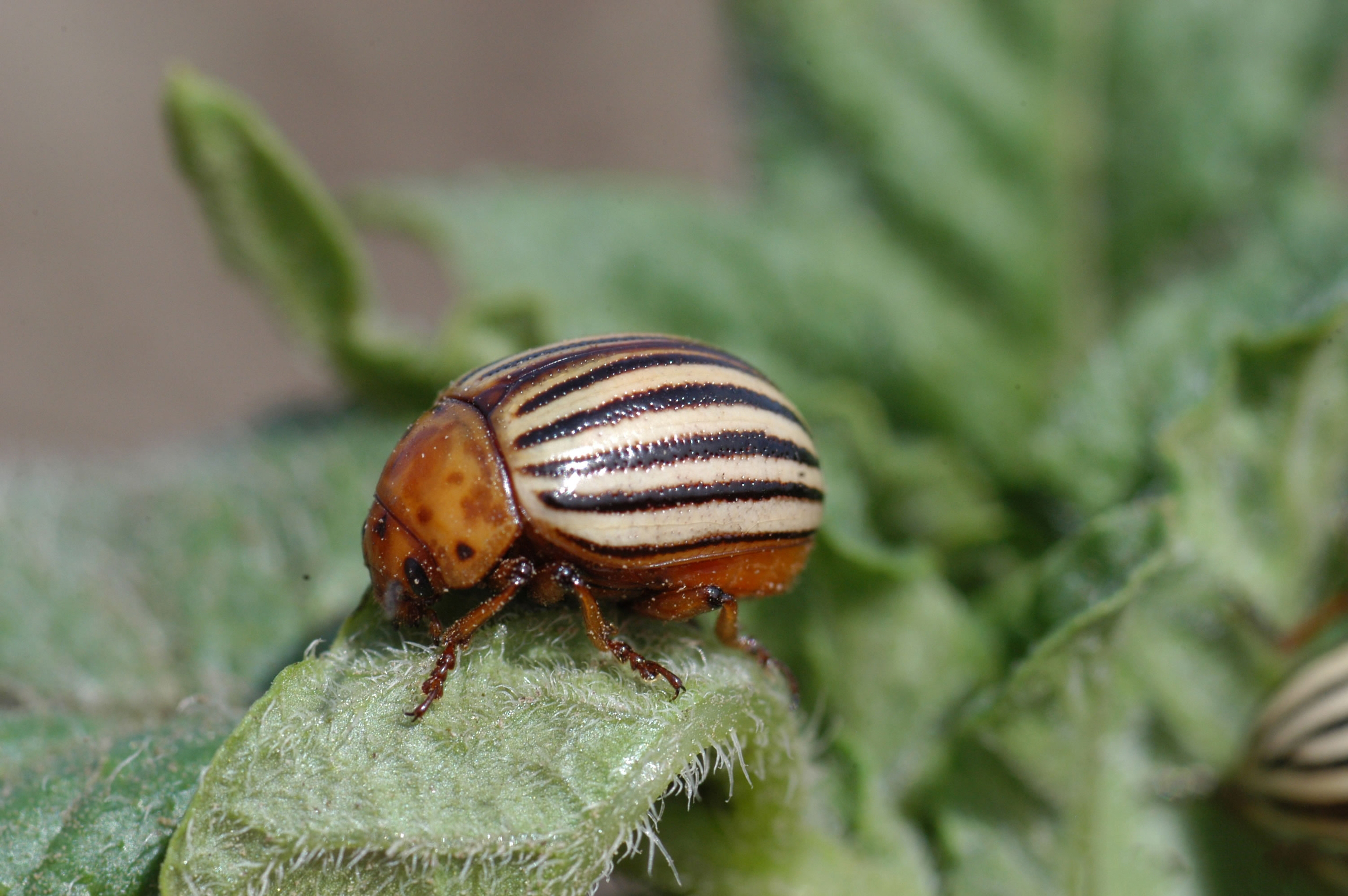 Colorado potato beetles (CPB) have black and yellow stripes and a shape similar to ladybugs