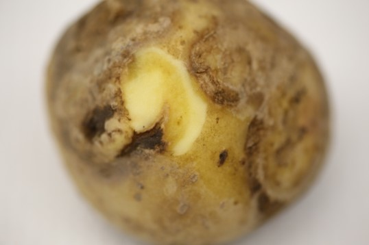 PVY necrotic ringspots extend into the flesh of potato tubers