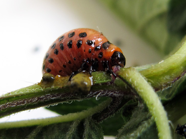 CPB larvae are bulbous in shape, reddish in color, and have black spots