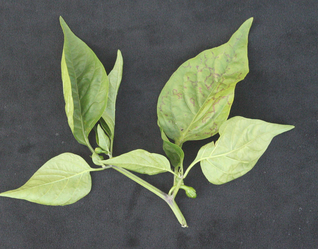 Tomato spotted wilt virus causes chlorotic ring spot patterns