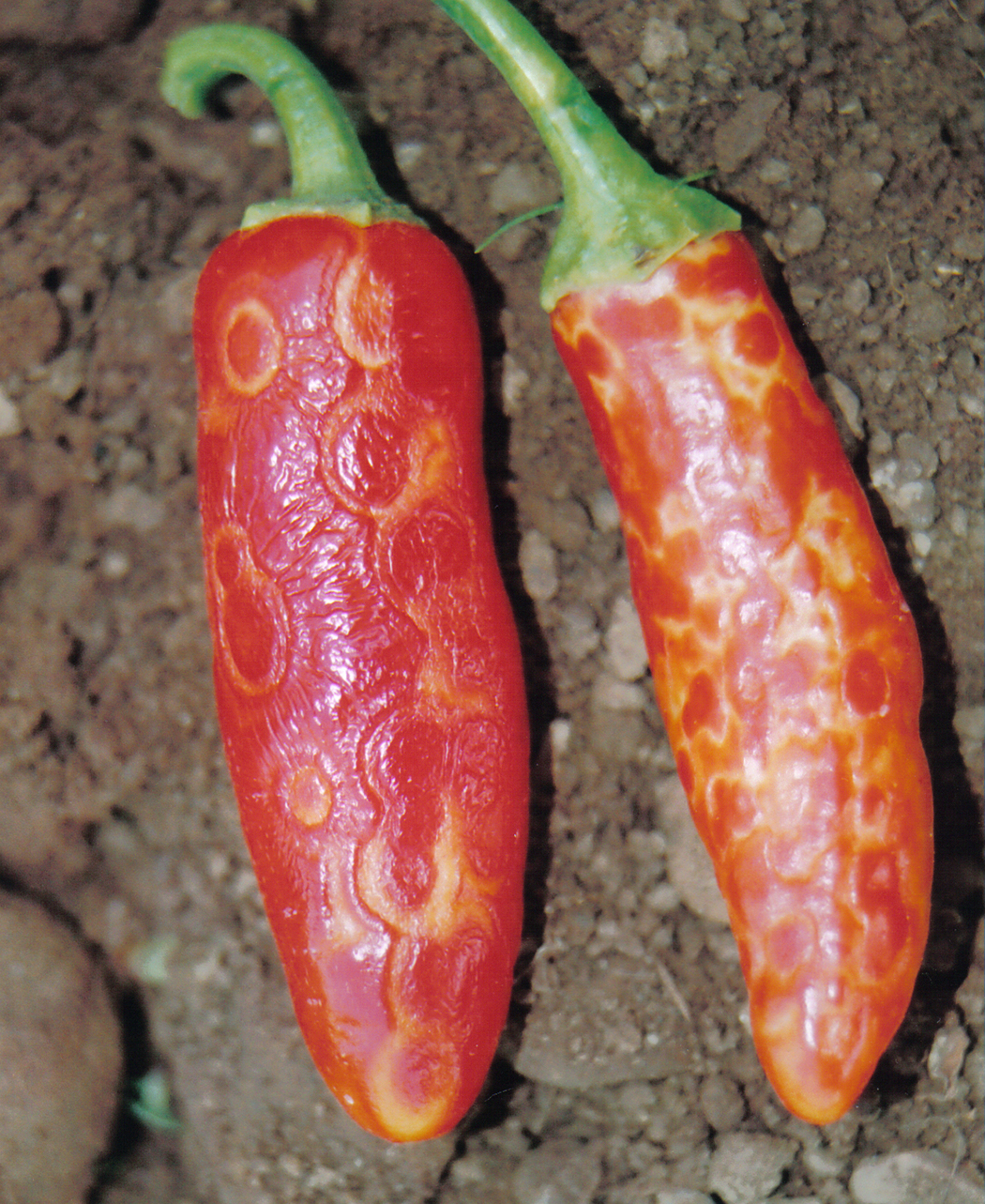 TSWV can also appear as ring spots on peppers