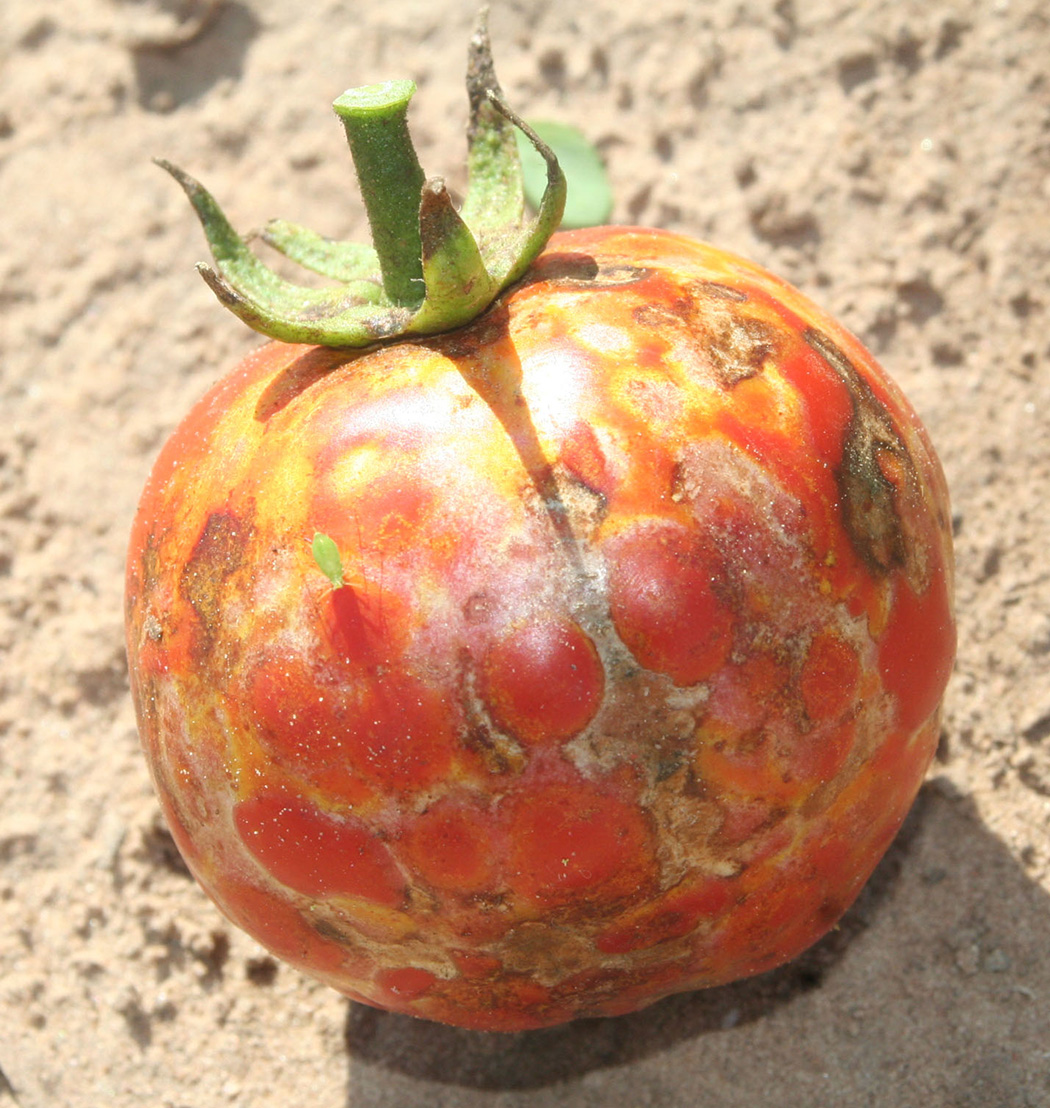 Brown ring spots on TSWV infected mature fruit