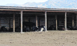 covered cows