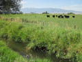 cows by water