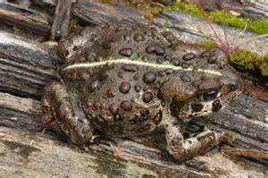 Boreal toads sciox Image collections