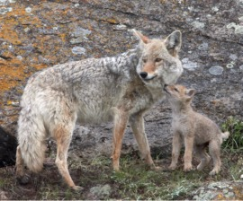 coyote and cub
