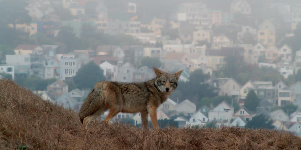 coyote by residential community