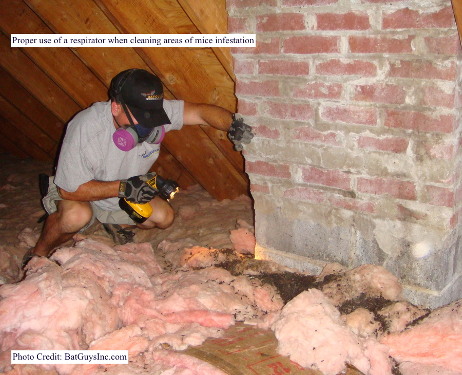 man looking at mouse feces in attic