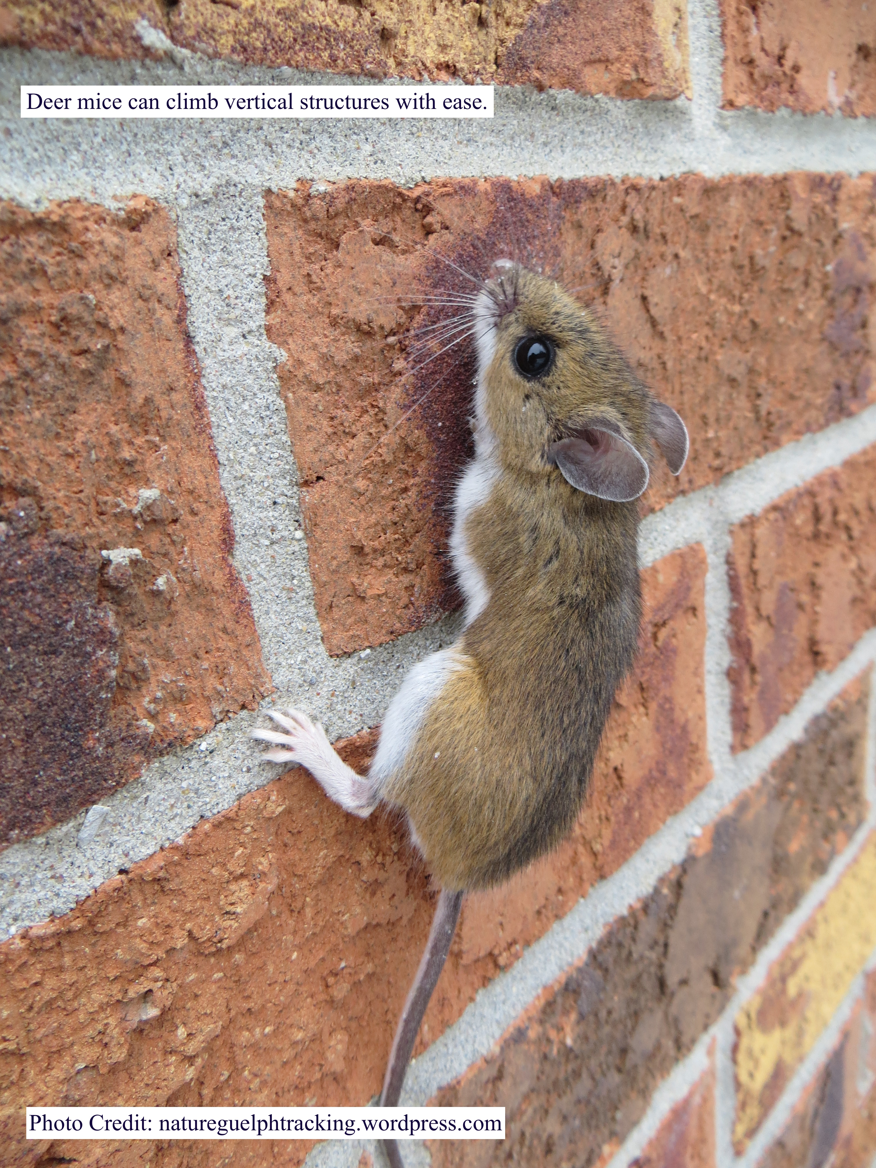 Deer mouse climbing brick wall