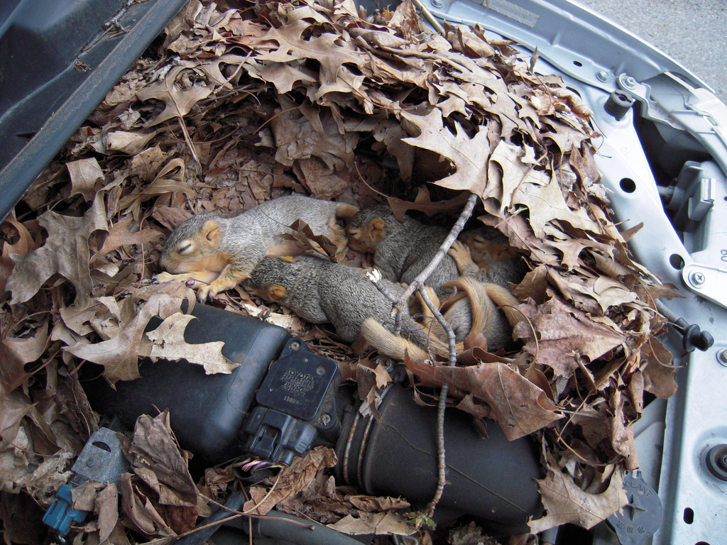 squirrel nest in car