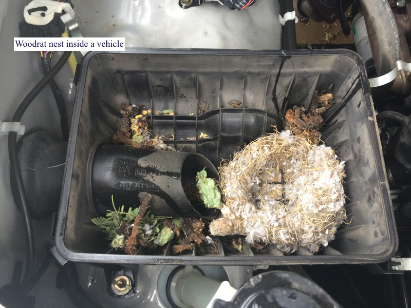 woodrat nest in car
