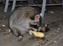 raccoon eating ear of corn
