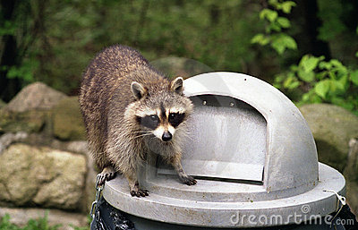raccoon on trash can